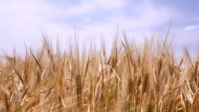 Ears of grain on the sky background stock footage