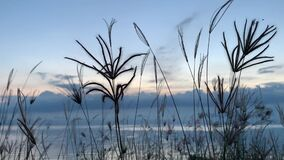 Ears of grass gently swinging in the wind on sea background at sunset
