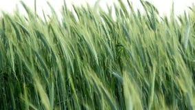Ears of green wheat stock video