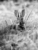 Ears?. High contrast black and white portrait of a startled rabbit, Suffolk, England Stock Photos