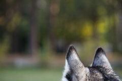 Ears of husky from behind closeup. Royalty Free Stock Photo