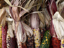 Ears of Indian corn at a farmers' market Royalty Free Stock Image