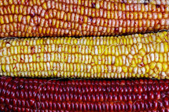 Ears of Indian Maize Royalty Free Stock Image