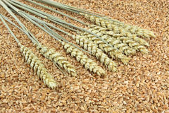 Ears and Kernels of Wheat. Stock Image
