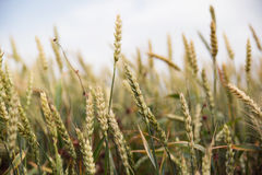 Ears of mature wheat Stock Image