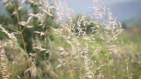Ears moving in the wind in meadow. Yellow ears moving in the wind in green meadow. HD video without sound stock video