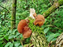 Ears mushrooms. Ears judas wild free mushrooms nature forest autumn  food Royalty Free Stock Images