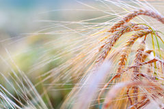 Ears of oats close-up Royalty Free Stock Photography