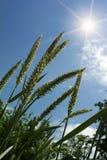 Ears  oats  field Royalty Free Stock Photo