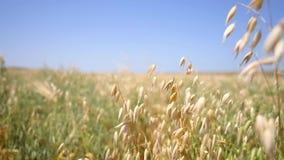 Ears of oats in the windy field. beautiful healthy organic cereals farm hd slowmotion footage. 1920x1080 stock video