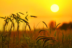 Free Ears Of Wheat, Rye Against The Backdrop Of  Orange Sky Stock Photo - 81023270