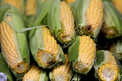 Ears of partially husked corn Stock Photo