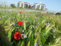 Ears and poppies. With modern buildings in the background royalty free stock photo