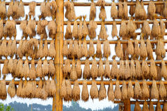 Ears of rice Stock Images