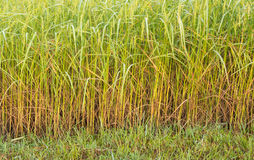 Ears of Rice Field Royalty Free Stock Images