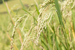 ears of rice Royalty Free Stock Images