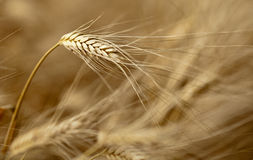 Ears of ripe barley Royalty Free Stock Photos