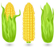 Ears of ripe corn. Agricultural, reaped crop, illustration Royalty Free Stock Photos
