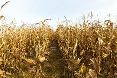 Ears of ripe corn Stock Image