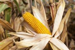 Ears of ripe corn Stock Photo
