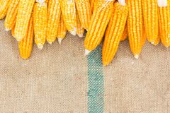 Ears of ripe corn on the gunnysack Royalty Free Stock Images