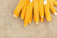 Ears of ripe corn on the gunnysack Stock Photography
