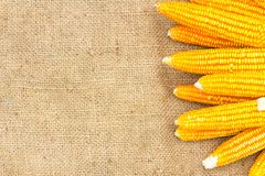 Ears of ripe corn on the gunnysack Royalty Free Stock Photo