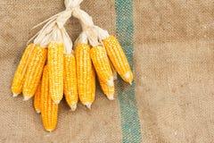 Ears of ripe corn on the gunnysack Stock Image