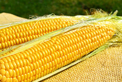 Ears of ripe corn on the sacking Stock Image