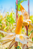 Ears of ripe corn on truks plants with blurred Stock Photo