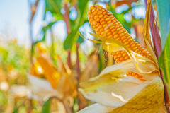 Ears of ripe corn on truks plants with blurred Stock Images