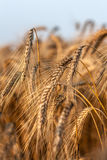 Ears of ripe rye. In a field in the suburbs of Moscow Stock Photo