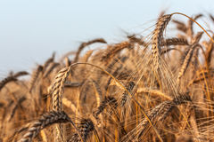Ears of ripe rye Royalty Free Stock Photo