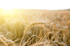 Ears of ripe wheat Royalty Free Stock Images