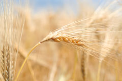 Ears of ripe wheat Royalty Free Stock Photos
