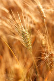 Ears of ripe wheat. Landscape Stock Photography