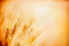 Ears of ripe wheat on Cereal field, close up Royalty Free Stock Photos
