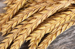 Ears of ripe wheat close up Stock Image