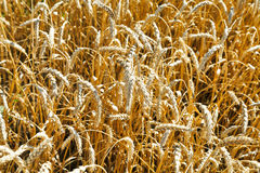Ears of ripe wheat close up in field Stock Image