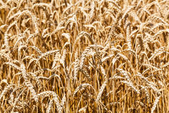 Ears of ripe wheat close up in field Royalty Free Stock Photography