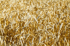 Ears of ripe wheat close up on plantation Royalty Free Stock Photography