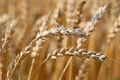 Ears of Ripe Wheat Stock Photography