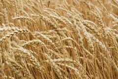 Ears of ripe wheat. Growing in a wheat field Royalty Free Stock Image