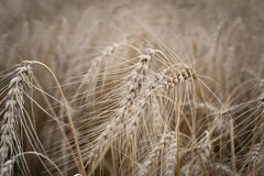 Ears of ripe wheat growing in field. Close up. Ears of ripe wheat growing in field. Shallow depth of field Stock Photo