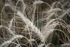 Ears of ripe wheat growing in field. Close up. Ears of ripe wheat growing in field. Shallow depth of field Royalty Free Stock Photo