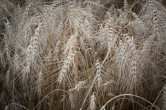 Ears of ripe wheat growing in field. Close up. Ears of ripe wheat growing in field. Shallow depth of field Stock Photos