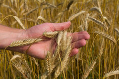 Ears of ripe wheat in hand Royalty Free Stock Photo