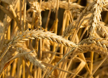 Ears of ripe wheat before harvest. Golden ears of ripe wheat before harvest. Selective focus image in candid light in summer day Stock Photos