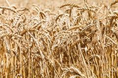 Ears of ripe wheat on plantation Stock Photography