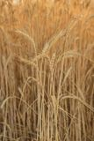 Ears of ripe wheat Stock Image